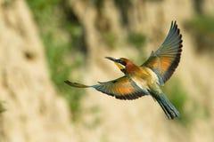 Os Abelha-comedores europeus, apiaster do Merops estão voando fotos de stock