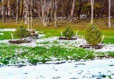 Os abeto pequenos crescem na cidade fora Foto de Stock Royalty Free