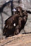 Os abutres Imagem de Stock Royalty Free