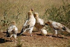 Os abutres egípcios quebram ovos fotos de stock