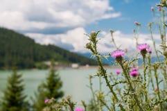 Os acanthoides do Carduus do cardo aproximam a borda da estrada, lago limpo de cristal Imagem de Stock