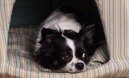 Os acessórios perseguem a chihuahua preto e branco fotos de stock