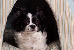 Os acessórios perseguem a chihuahua preto e branco foto de stock royalty free
