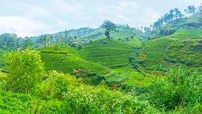 Os acres de plantas de chá Fotos de Stock