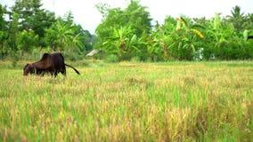 Os agricultores interpretam a vaca no campo video estoque