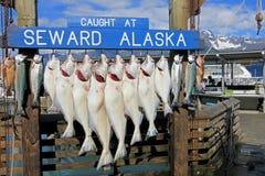 Os alabotes travados em Seward Alaska eram gancho para pesar em Seward, Alaska, EUA imagem de stock