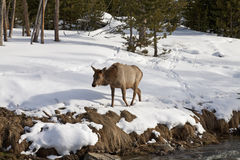 Os alces aproximam o rio, inverno, Yellowstone NP Imagem de Stock