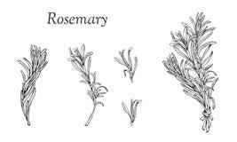 Os alecrins entregam os ramos tirados ajustados no esboço ilustração royalty free
