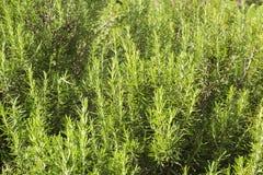 Os alecrins plantam no campo Fotos de Stock