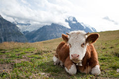 Os alpes suíços, Grindelwald primeiramente Foto de Stock