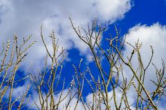 Os amentilhos do salgueiro florescem na mola, céu azul com as nuvens brancas no fundo imagens de stock royalty free