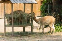 Os animais comem de uma calha de alimentação Imagens de Stock