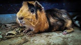 Os animais do hamster estão comendo fotos de stock royalty free