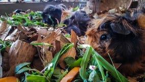 Os animais do hamster estão comendo fotografia de stock