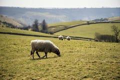 Os animais dos carneiros na exploração agrícola ajardinam no dia ensolarado no distrito máximo Reino Unido Fotografia de Stock Royalty Free