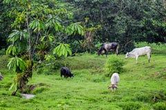 Os animais home estão comendo a grama verde ao lado da floresta Fotografia de Stock Royalty Free