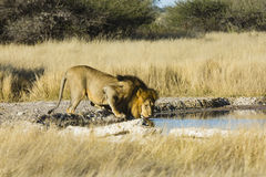 Os animais selvagens da reserva central do jogo de Kalahari imagem de stock