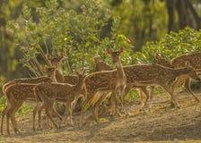 Os animais selvagens dourados imagem de stock