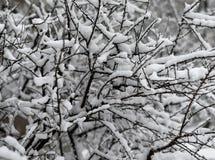 Os arbustos cobertos de neve no parque Fotografia de Stock Royalty Free