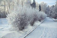 Os arbustos com neve e a geada na cidade estacionam Foto de Stock Royalty Free