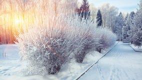 Os arbustos com neve e a geada na cidade estacionam Fotografia de Stock Royalty Free