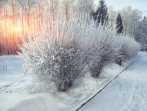 Os arbustos com neve e a geada na cidade estacionam Foto de Stock