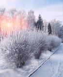 Os arbustos com neve e a geada na cidade estacionam Fotos de Stock Royalty Free