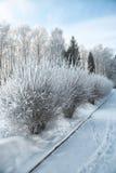 Os arbustos com neve e a geada na cidade estacionam Imagens de Stock