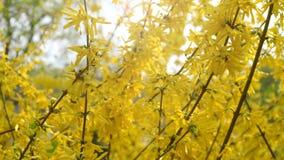 Os arbustos da forsítia floresceram flores amarelas Dia de mola ensolarado, o arbusto começou a florescer flores amarelas Arbusto filme
