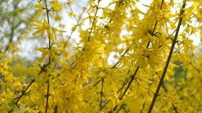 Os arbustos da fors?tia floresceram flores amarelas Dia de mola ensolarado, o arbusto come?ou a florescer flores amarelas Arbusto vídeos de arquivo