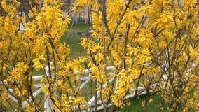 Os arbustos da fors?tia floresceram flores amarelas Dia de mola ensolarado, o arbusto come?ou a florescer flores amarelas Arbusto filme