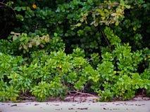 Os arbustos da planta de mar local na praia foto de stock
