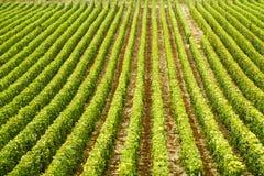 Os arbustos da uva no campo arranjaram nas fileiras, França, Champagne Foto de Stock Royalty Free