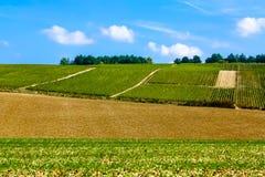 Os arbustos da uva no campo arranjaram nas fileiras, França, Champagne Imagem de Stock