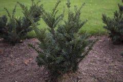 Os arbustos do teixo do inglês no parque Foto de Stock Royalty Free