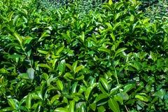 Os arbustos verdes como a imagem de fundo natural, verde saem com o amanhecer Fotografia de Stock Royalty Free