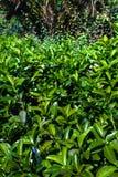 Os arbustos verdes como a imagem de fundo natural, verde saem com o amanhecer Foto de Stock