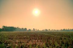 Os arrozes estão crescendo acima Fotos de Stock Royalty Free