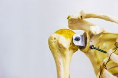 Os articulés de clavicule et d'omoplate d'humérus montrant l'anatomie gauche humaine d'articulation de l'épaule à l'arrière-plan  photographie stock libre de droits