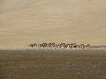 Os asnos selvagens perseguiram por um amigo da excursão em Tibet imagens de stock royalty free