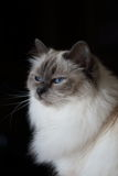 Os azuis bebê brancos macios bonitos eyed o gato no fundo preto Imagem de Stock Royalty Free