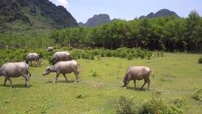 Os búfalos andam e comem a grama no campo na opinião superior do dia filme