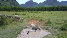 Os búfalos andam e encontram-se na poça na opinião superior do pasto vídeos de arquivo