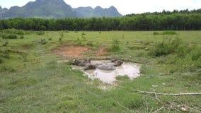 Os búfalos asiáticos encontram-se no lago pequeno na opinião aérea do pasto video estoque