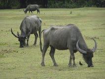 Os búfalos com chifres enormes pastam em um pasto verde, Tailândia imagens de stock royalty free