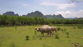 Os búfalos com grandes chifres pastam na opinião superior do prado vídeos de arquivo