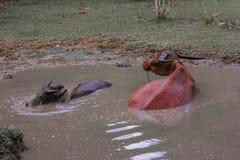 Os búfalos embebem a água com a lama Fotos de Stock