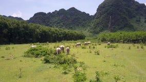 Os búfalos grandes pastam no campo na vista aérea da terra filme