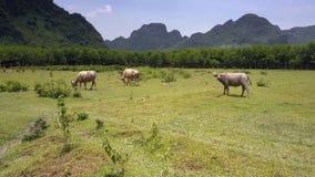 Os búfalos grandes pastam no campo verde contra montanhas antigas video estoque