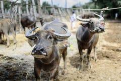 Os búfalos no mercado Imagens de Stock